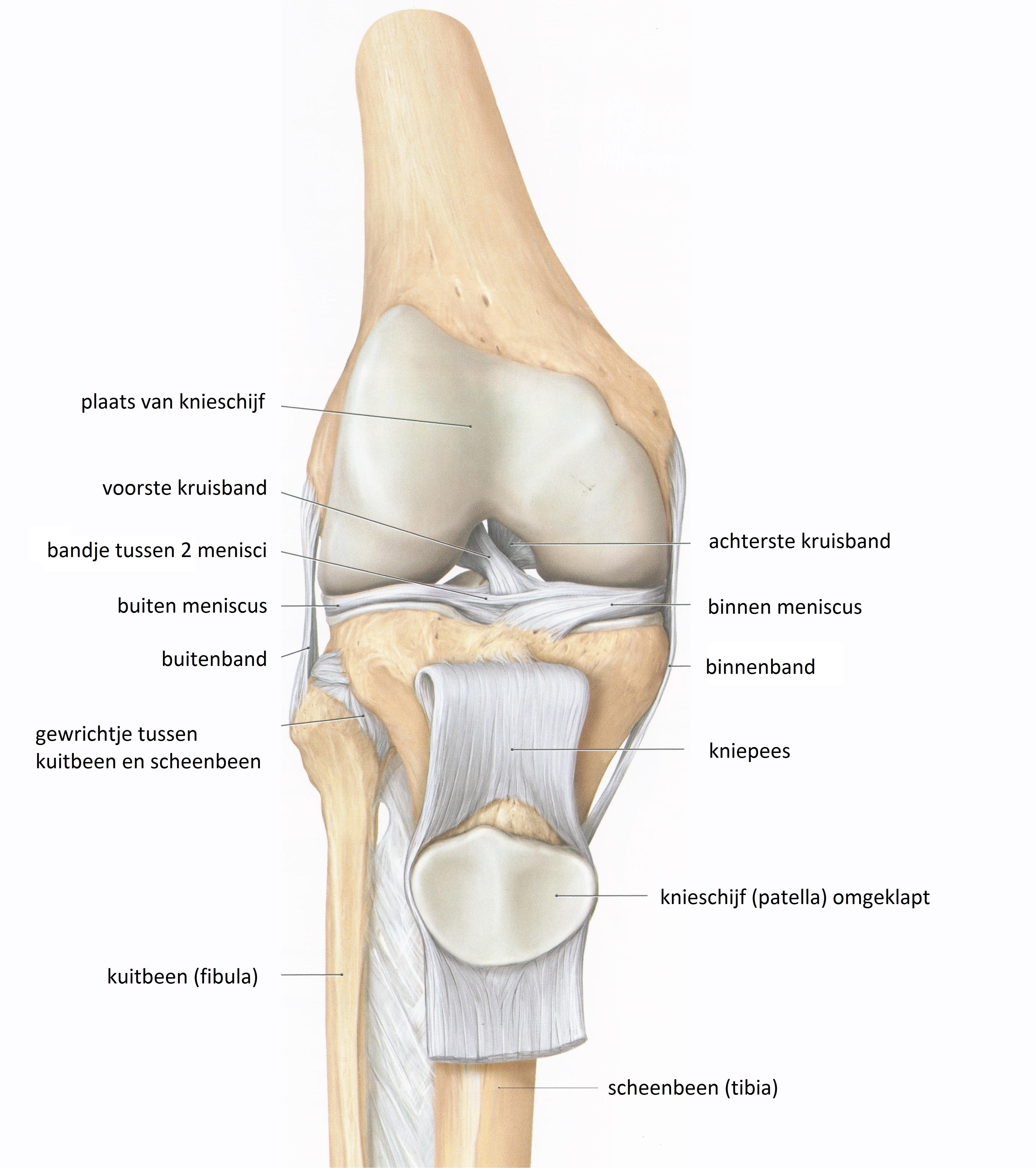 Het patellofemoraal pijnsyndroom (PFPS) : de knieschijf als hefboom ...